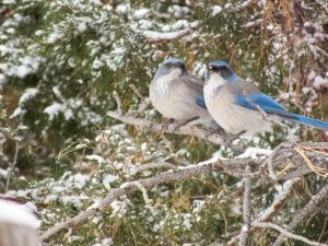 a pair of mountain jays